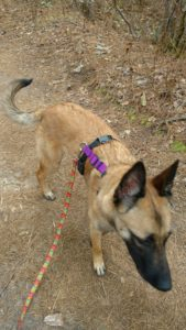 malinois on trail
